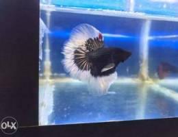 Betta male for sale