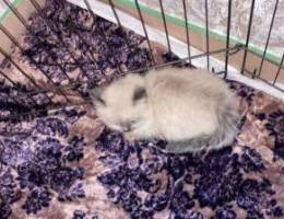 عدد ٥ قطط شيرازي هيمالايا مون فيس