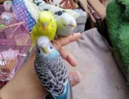 طيور هند اليفه للبيع