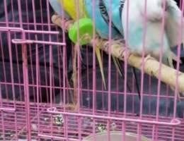 للبيع طيور هند اليفه