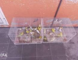 للبيع كمية أزواج طيور هند ..بحريني..هولندي...