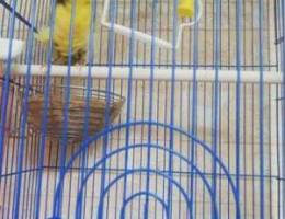 frizyan canary