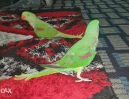 Jambo size Nepali parrot