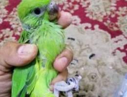 متاتو إنتاج البحرين للبيع parrot for sale