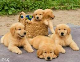 golden retriever puppies available in Bahr...