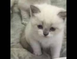 للحجز قطط هيملايا بيور