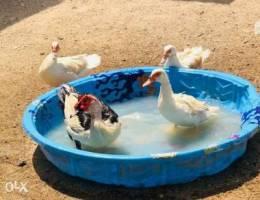 Fuyomi Ducks