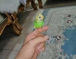 طيور هند اليفه