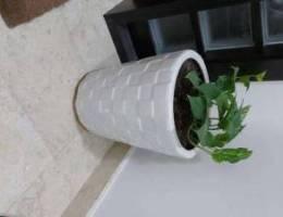 Pot with money plant