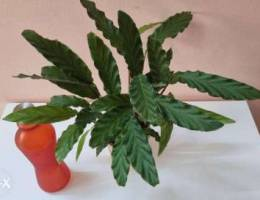 Calathea plant for sale
