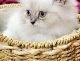 للبيع قطط العمر شهرين