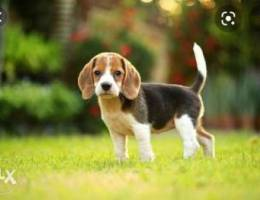 looking for a beagle puppy